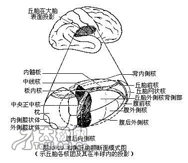 最早的爬行动物体内已经出现了中枢神经系统
